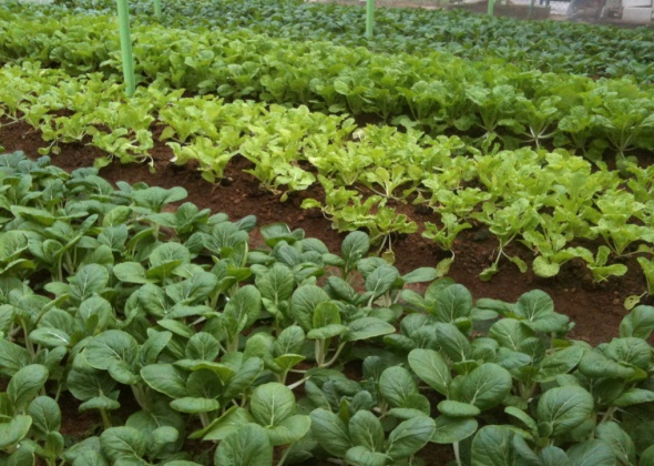 Growing Leafy Vegetables